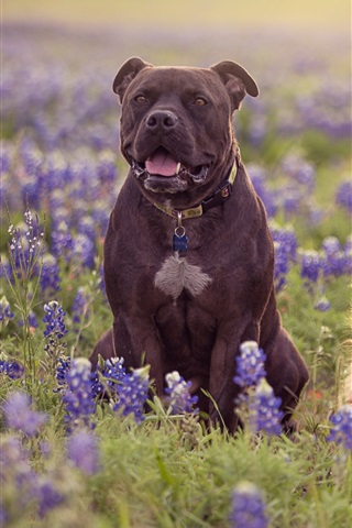 iPhone Wallpaper Two dogs, meadow, blue lupine flowers