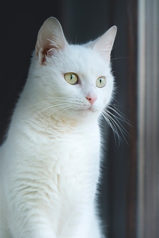 iPhone Wallpaper White cat look at window, reflection
