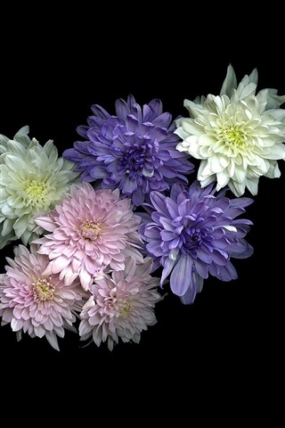 iPhone Wallpaper White, pink, purple chrysanthemum, black background