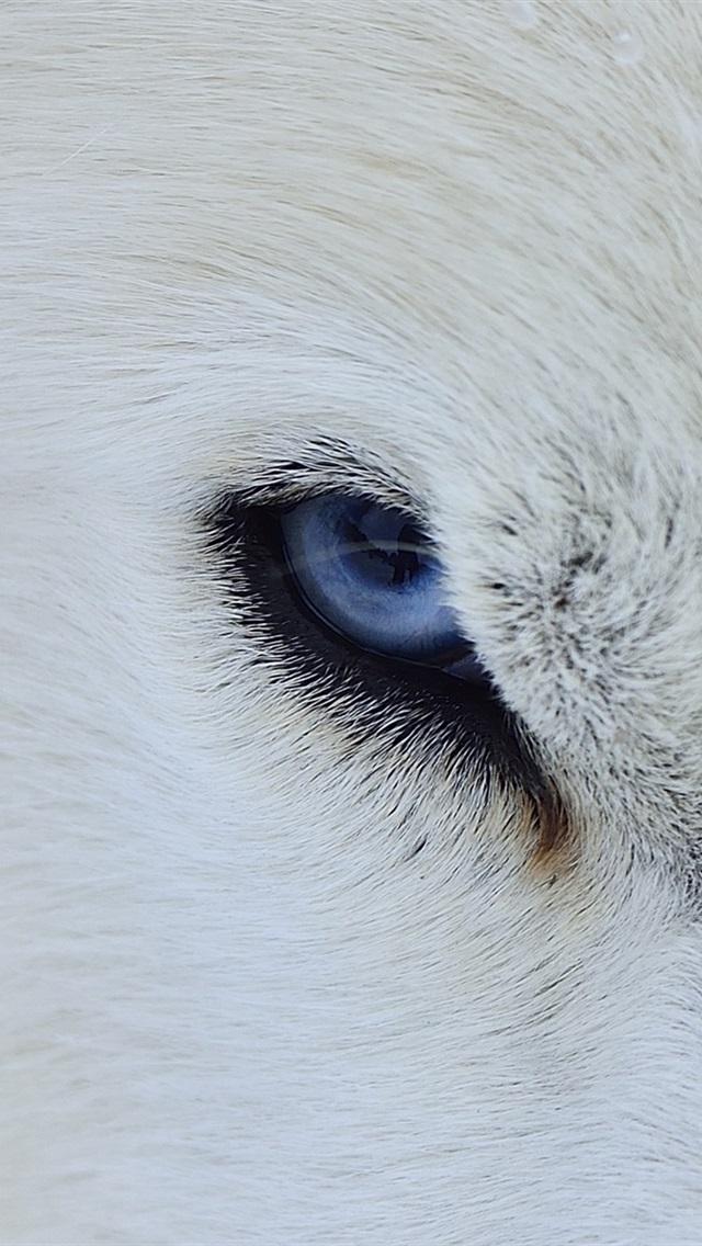 Blaue Augen Des Weißen Wolfs Vorderansicht 640x1136 Iphone 55s5c