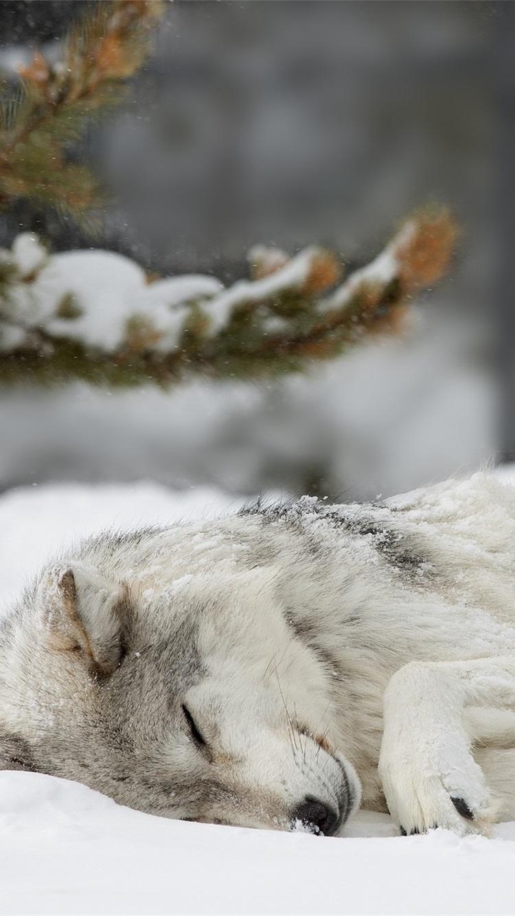 雪の中で眠っている狼 冬 750x1334 Iphone 8 7 6 6s 壁紙 背景 画像