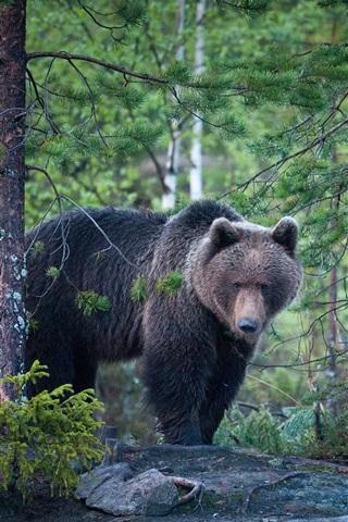 iPhone Wallpaper Bear, forest, after rain