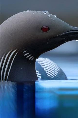 iPhone Wallpaper Black bird, head, beak, water, water drops
