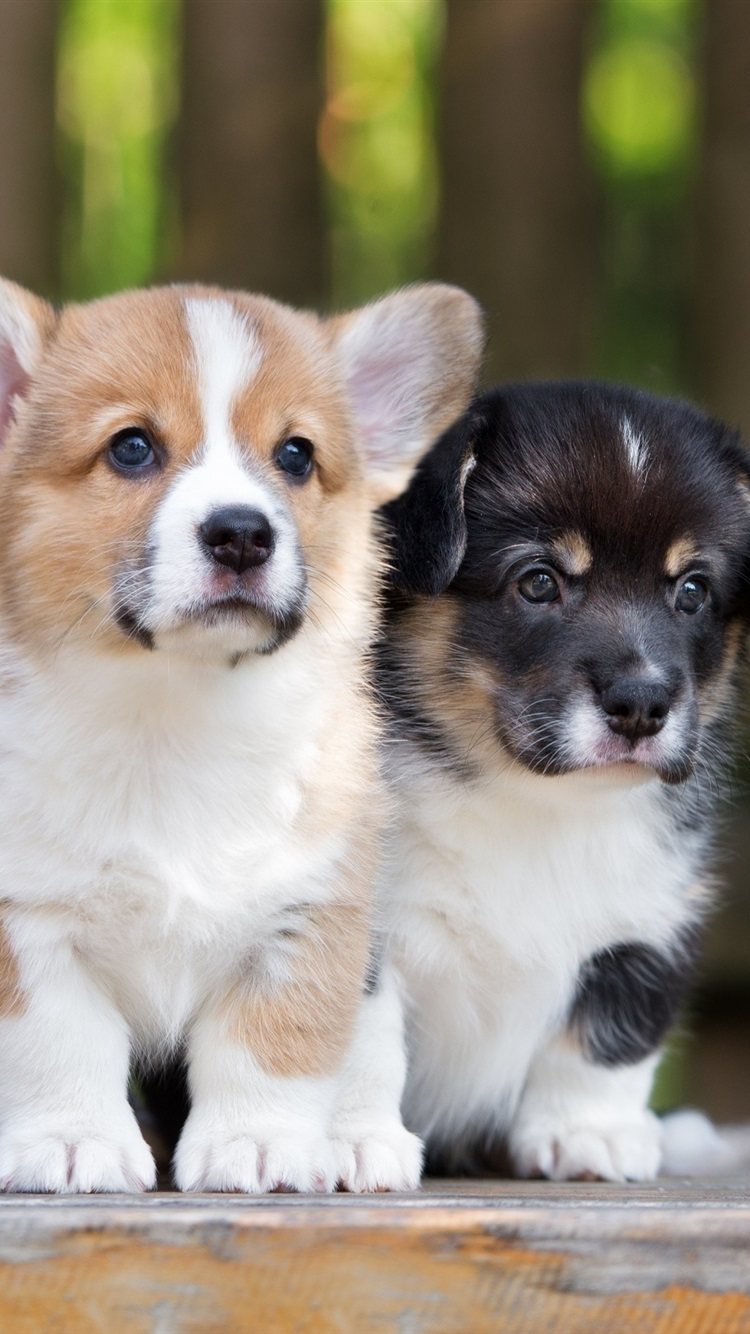 Corgi Two Puppies 750x1334 Iphone 8 7 6 6s Wallpaper Background Picture Image