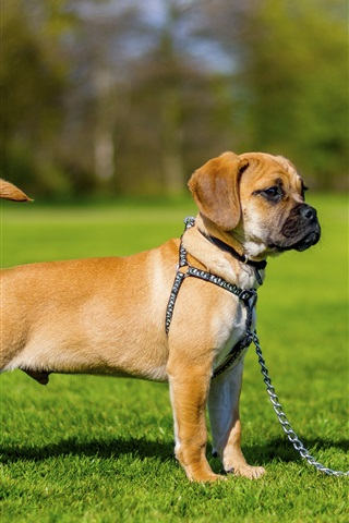 iPhone Wallpaper Cute puppy, dog, pet, grass
