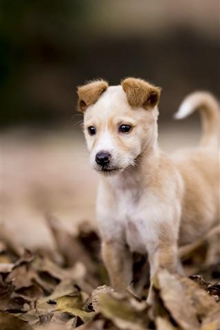 iPhone Обои Симпатичный щенок, сухие листья