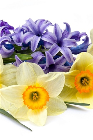iPhone Wallpaper Daffodils and hyacinths, flowers, white background