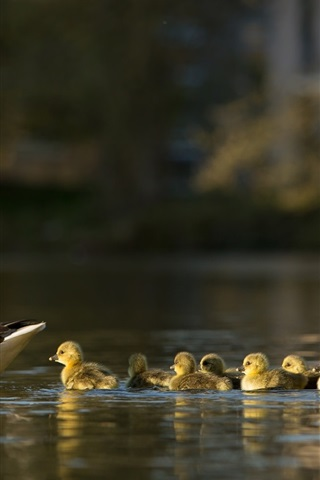 iPhone Wallpaper Ducks, family, lake