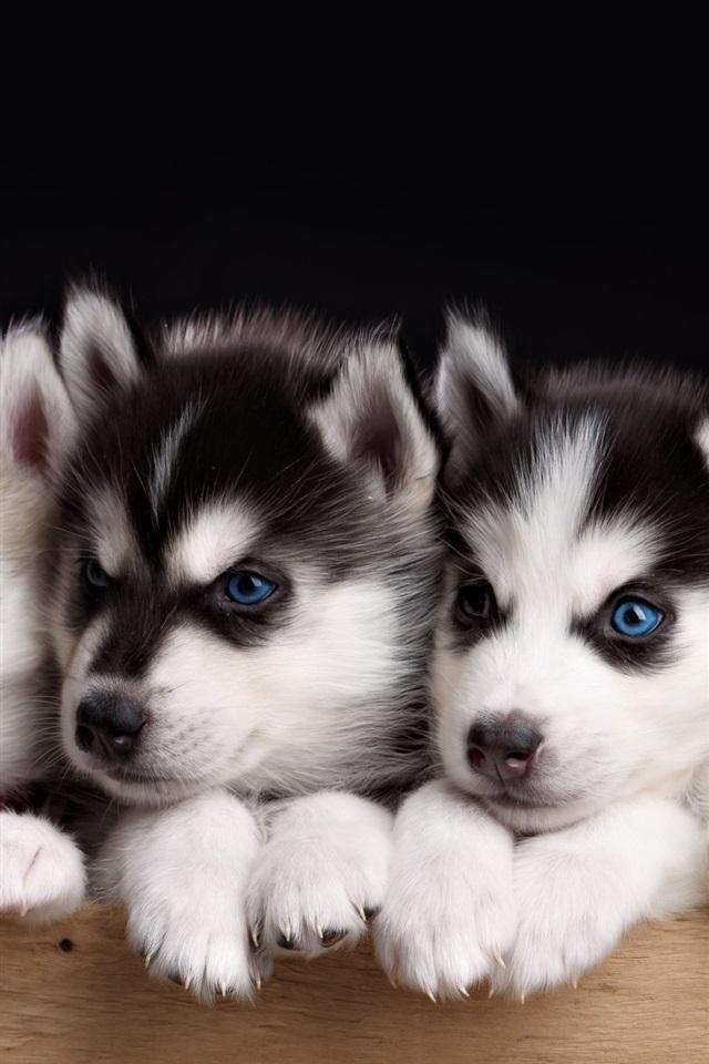 Fonds D 233 Cran Cinq Chiots Husky Chien Aux Yeux Bleus
