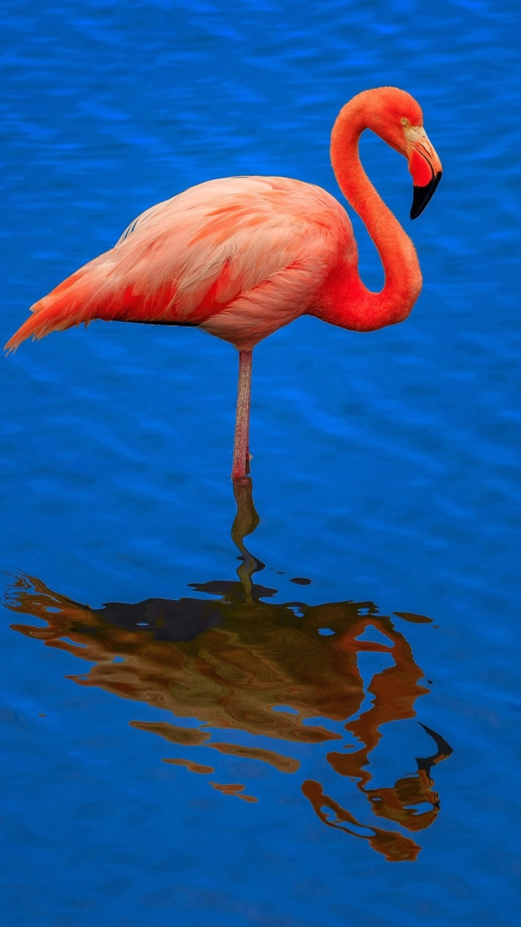 Flamingo Blue Water Reflection 750x1334 Iphone 8 7 6 6s