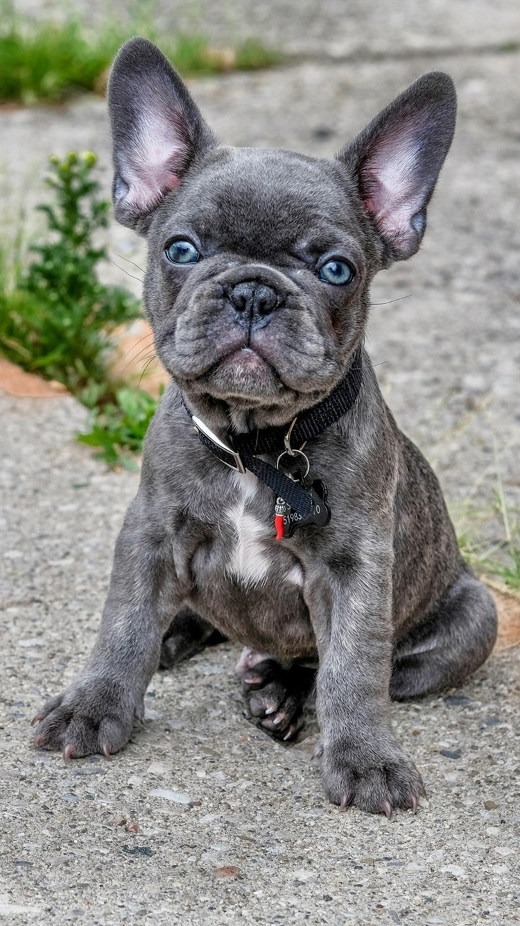 French Bulldog Cute Gray Puppy 750x1334 Iphone 8 7 6 6s