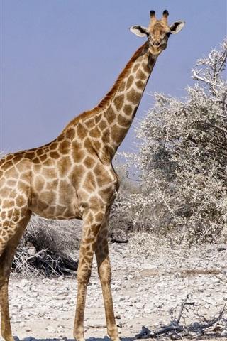 iPhone Wallpaper Giraffe look at you, Africa