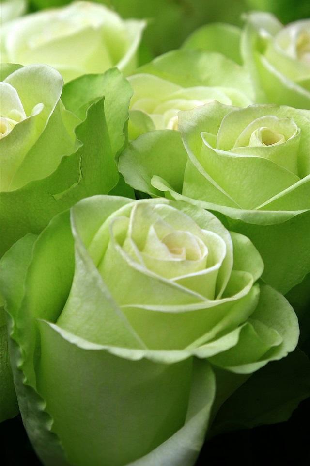 было зеленые розы картинки каплями благодарна ему все
