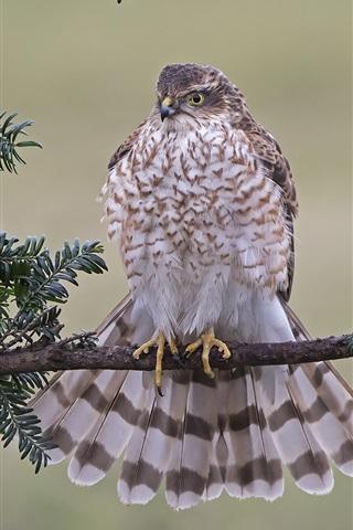 iPhone Wallpaper Hawk, predator, feathers, twigs