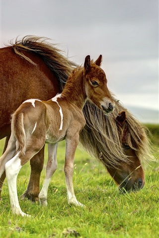 iPhone Wallpaper Horse, pony, cub, grazing, grass