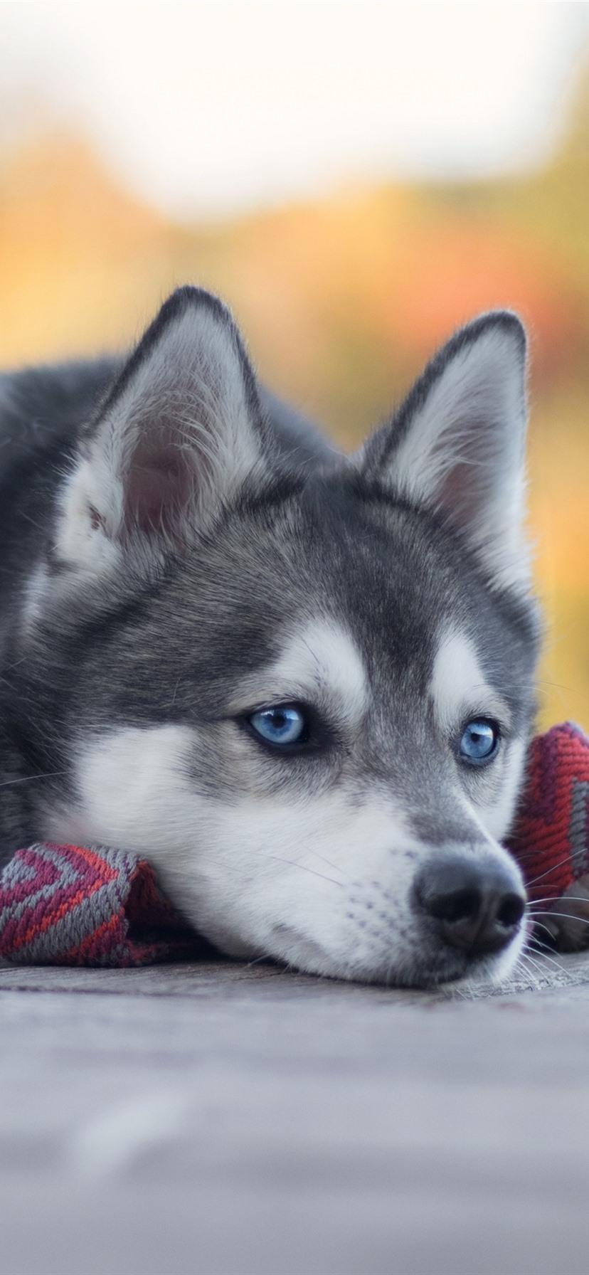 壁纸 哈士奇休息,蓝眼睛的狗 2880x1800 HD 高清壁纸, 图片, 照片