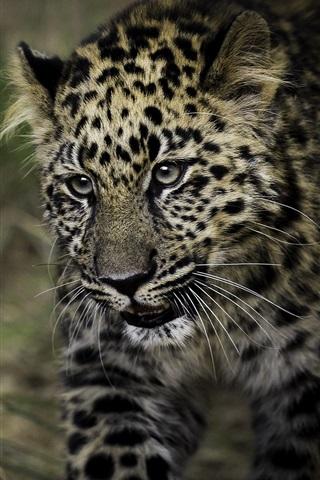 iPhone Wallpaper Leopard, spot, predator, grass