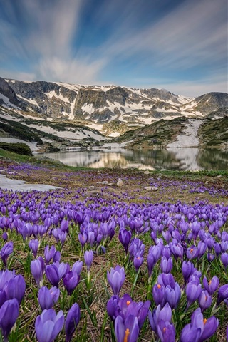 iPhone Wallpaper Many crocus blossom, lake, mountains, snow, spring