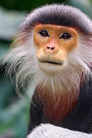 iPhone Papéis de Parede Macaco, exótico