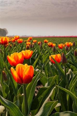 iPhone Wallpaper Orange tulips, field