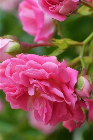 iPhoneの壁紙 ピンクのバラ、花、咲く、春
