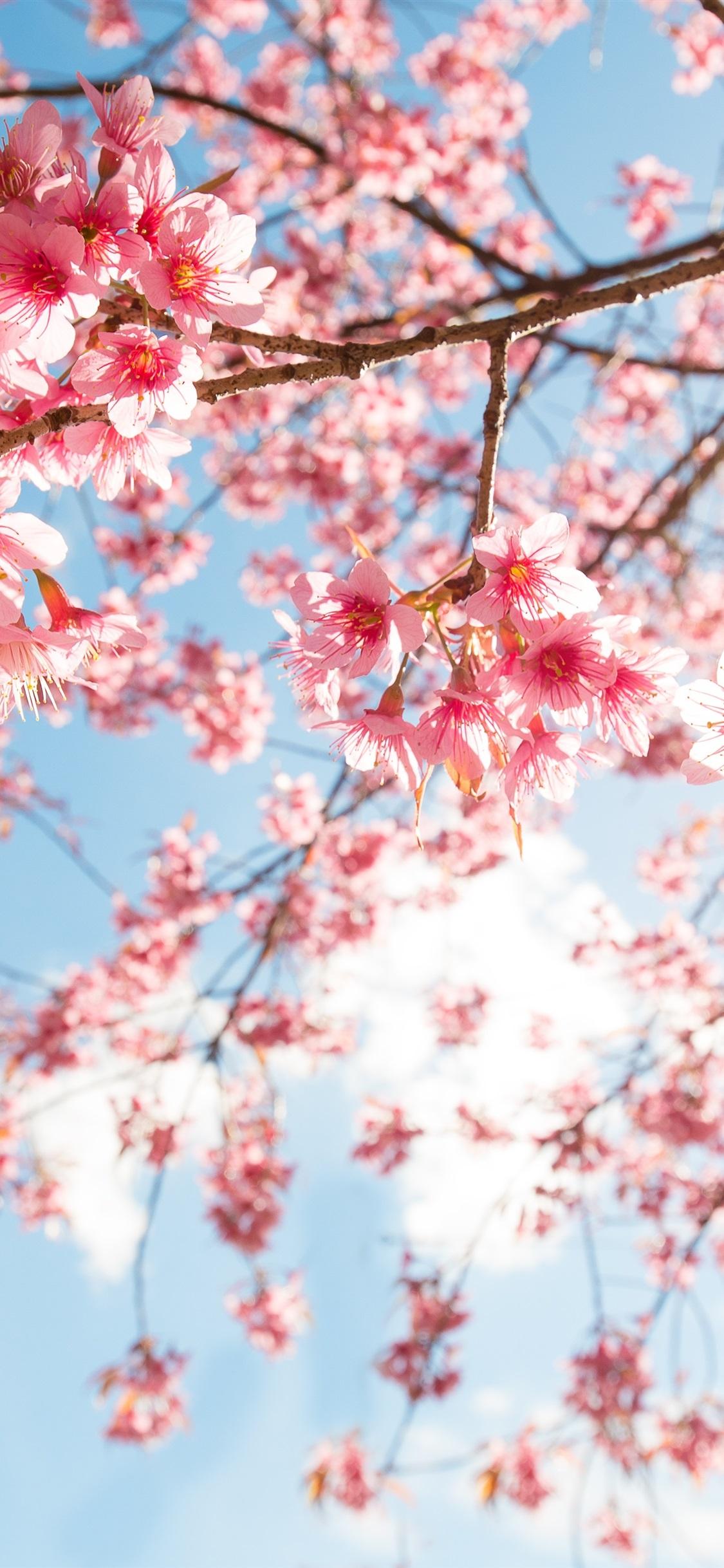Pink Sakura Blossom Twigs Sky Sunshine 1125x2436 Iphone