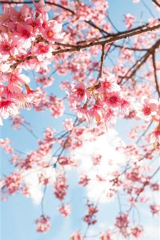 iPhone Wallpaper Pink sakura blossom, twigs, sky, sunshine