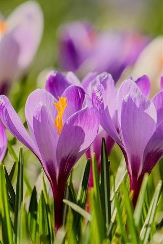 iPhone Wallpaper Purple flowers, flowering, crocuses, spring