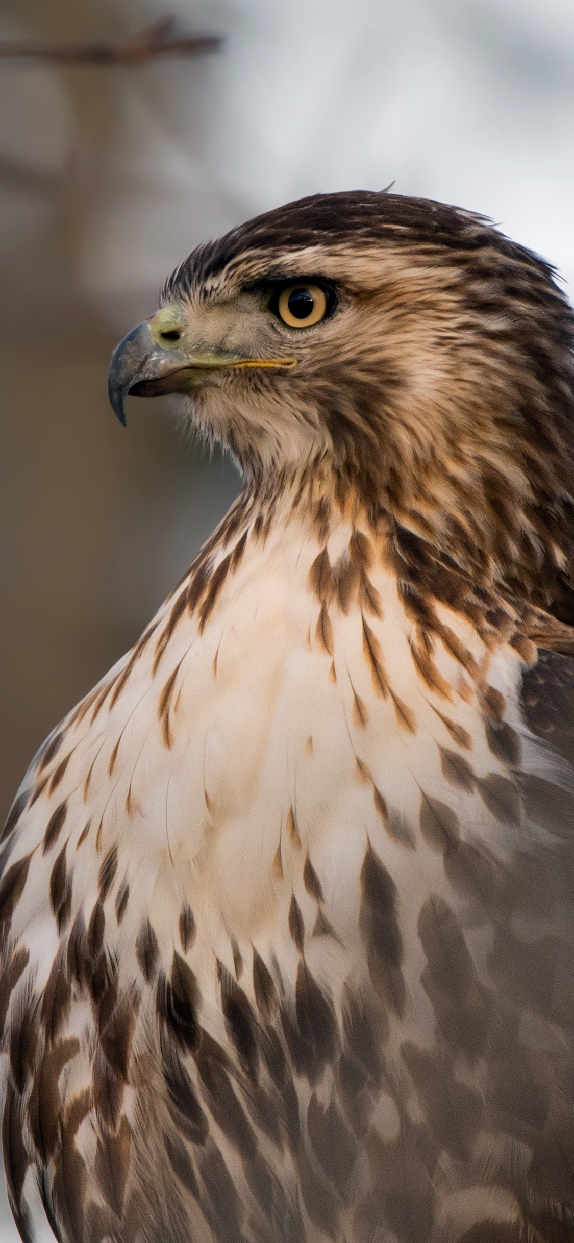 Wallpaper Red Tailed Hawk Head Eyes 3840x2160 UHD 4K Picture Image