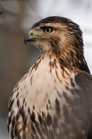 iPhone Wallpaper Red-Tailed Hawk, head, eyes