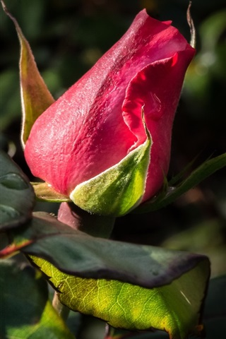 iPhone Wallpaper Red rose bud, leaves
