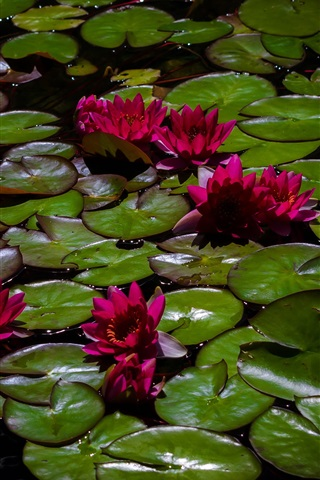 iPhone Wallpaper Red water lilies, pond, leaves