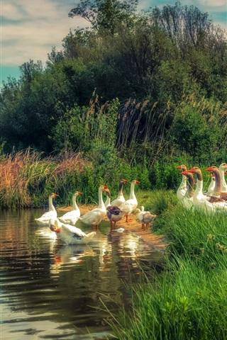 iPhone Wallpaper River, grass, geese