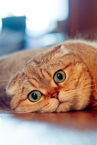 iPhone Wallpaper Scottish fold cat, look, lazy