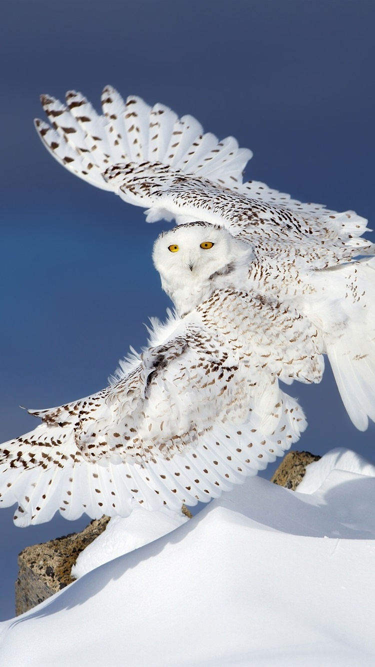 Snowy Owl Flight Wings Snow 750x1334 Iphone 8766s