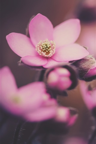 iPhone Wallpaper Spring, pink flowers macro photography
