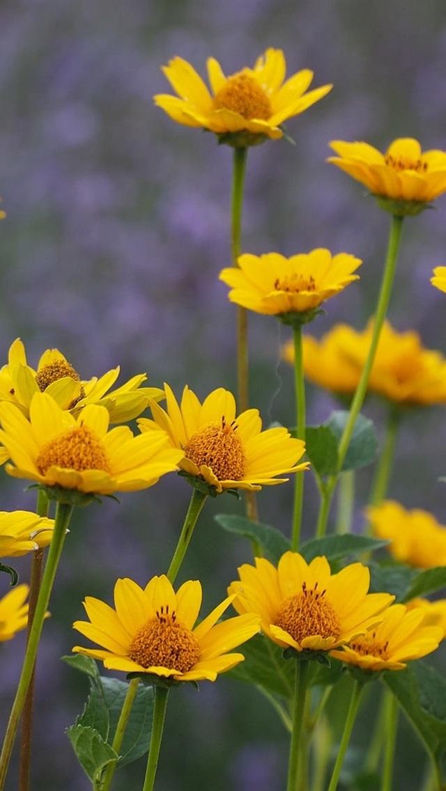 Summer Yellow Flowers 640x1136 Iphone 5 5s 5c Se Wallpaper