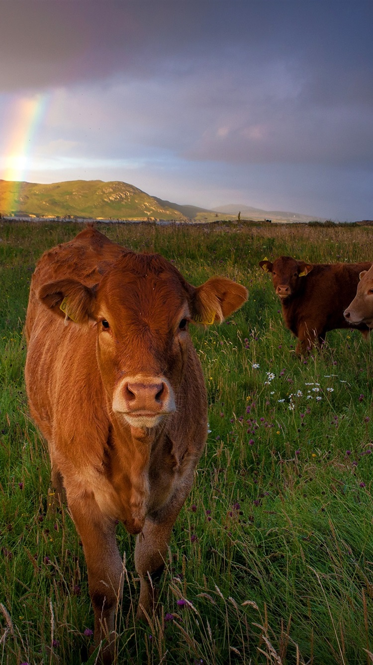 Wallpaper Three Brown Cows Grass Meadow 2880x1800 Hd Picture Image