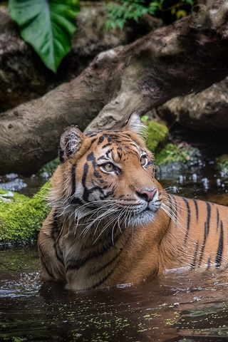 iPhone Wallpaper Tiger in water, bathing