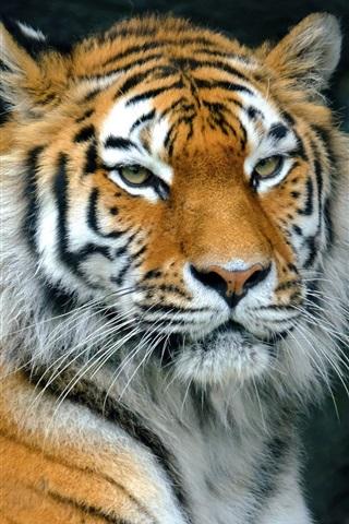 iPhone Wallpaper Tiger rest, predator, face, eyes