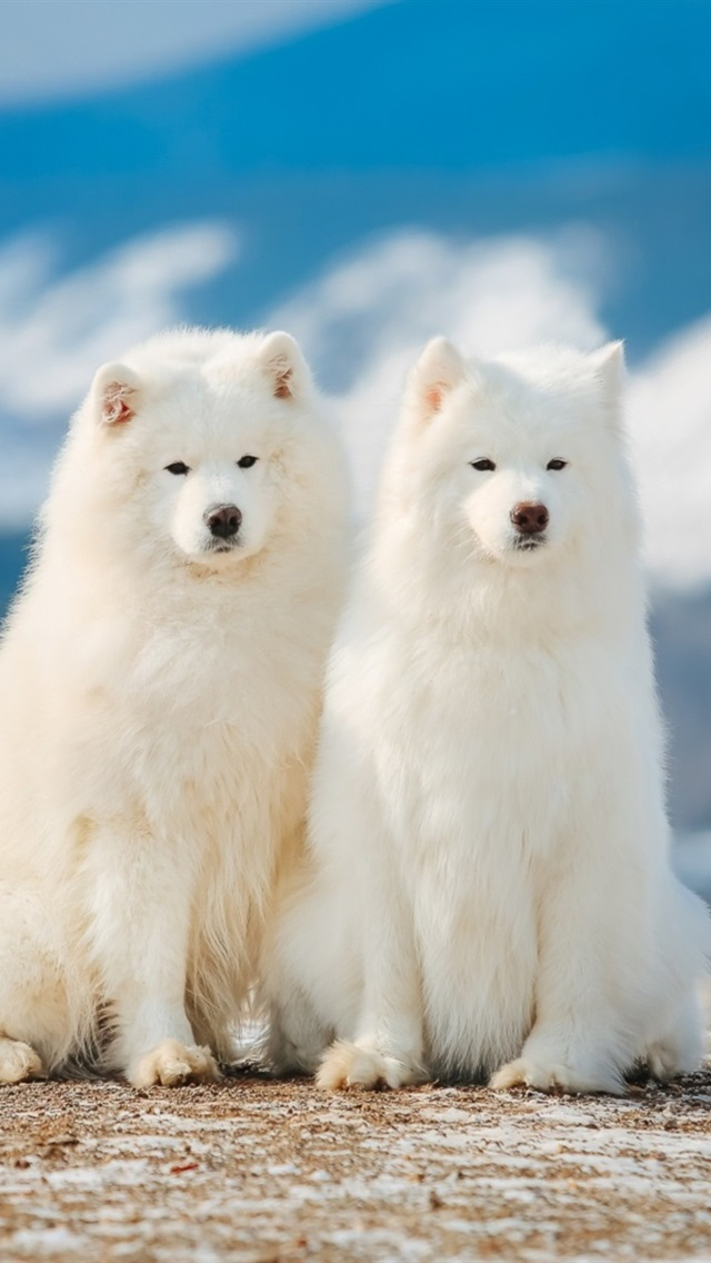 Two Samoyed Dogs 640x1136 Iphone 5 5s 5c Se Wallpaper