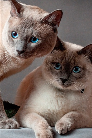 iPhone Wallpaper Two cats, blue eyes