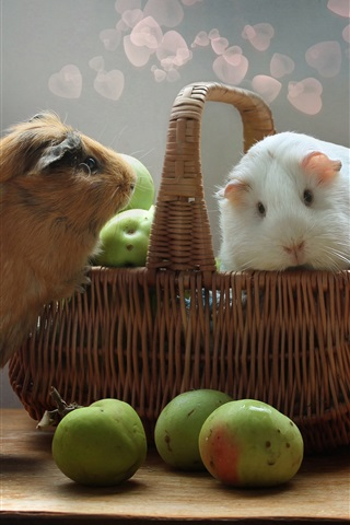 iPhone Wallpaper Two cute guinea pigs, rodents, apples