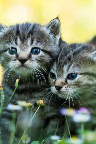 iPhone Wallpaper Two kittens, wildflowers, summer