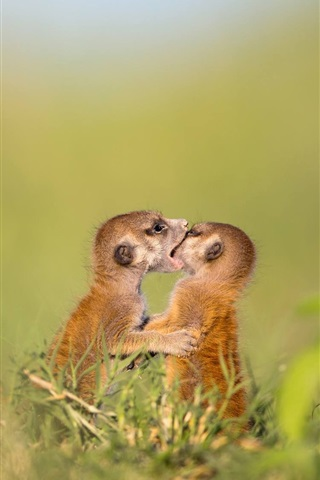 iPhone Wallpaper Two meerkats play games, wildlife