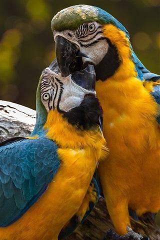 iPhone Papéis de Parede Dois papagaios jogar