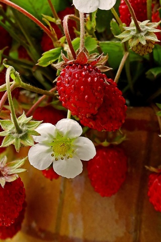iPhone Wallpaper Unripe strawberry, flowers
