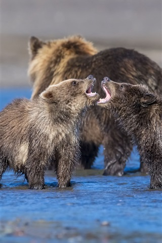 iPhone Wallpaper Bear cubs playful in water