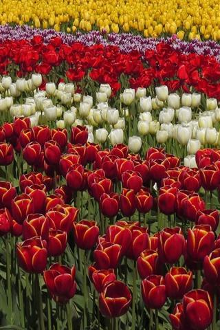 iPhone Wallpaper Beautiful tulips field, yellow, red, white, purple flowers