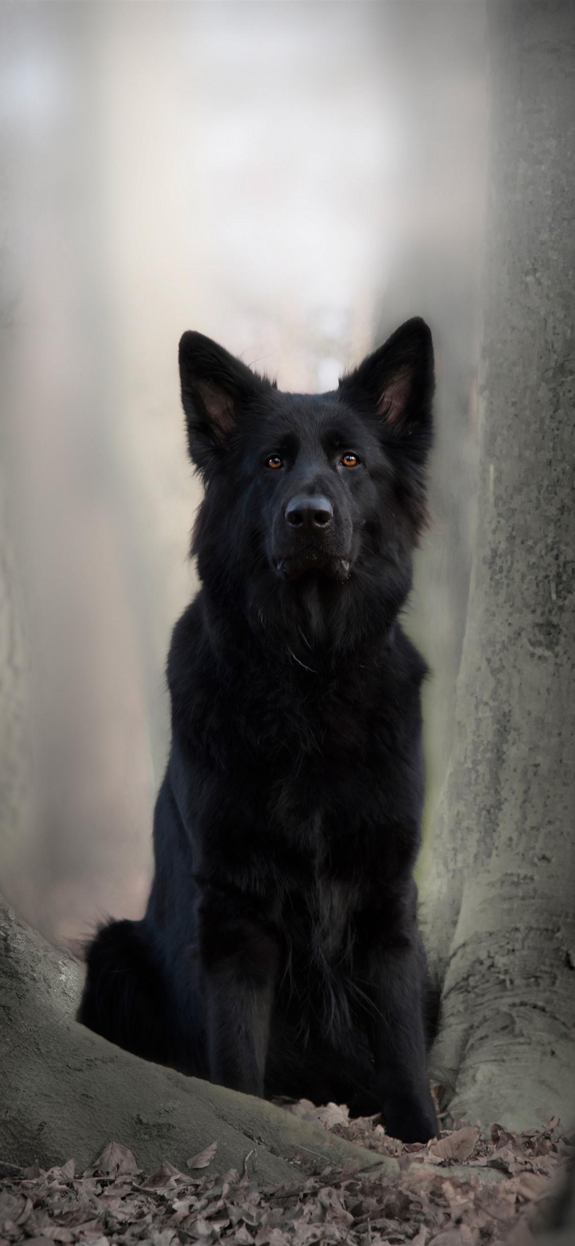 Black Dog German Shepherd 1125x2436 Iphone Xsx Wallpaper